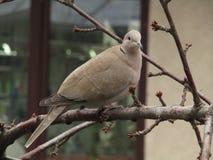 在樱桃树分支栖息的鸽子 免版税图库摄影