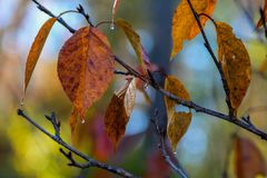 在樱桃树叶子的滴下的湿露水在秋天,秋天 库存图片