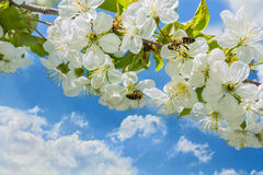 在樱桃树开花,关闭的蜂 免版税库存图片