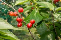 在樱桃树的樱桃群 免版税库存图片