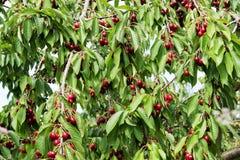 在樱桃树的樱桃 免版税库存图片