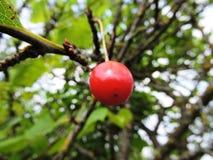 在樱桃树的樱桃 图库摄影