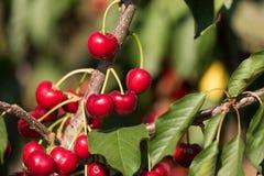 在樱桃树的水多的红色樱桃 特写镜头 图库摄影