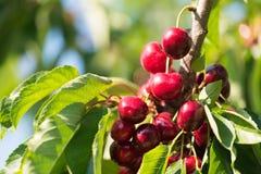 在樱桃树的水多的红色樱桃 特写镜头 库存图片