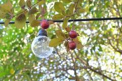 在樱桃树的老光 库存照片