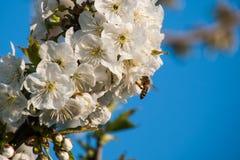 在樱桃树的蜂。 免版税库存照片