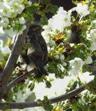 在樱桃树的麻雀鸟 免版税图库摄影