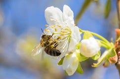 在樱桃树Cerasus花蜜期间收获的蜂Anthophila  免版税库存照片