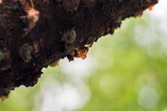 在樱桃的树的吠声,一种琥珀色的颜色的树脂被形成了 免版税库存照片