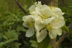 在樱桃的花 图库摄影