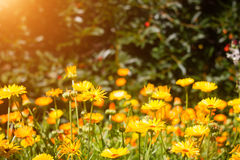 在樱桃背景和太阳的橙色强光的黄色花与bokeh的 图库摄影