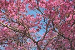 在樱花下 库存图片