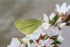 在樱花分支的黄色蝴蝶在春天 图库摄影