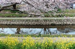 在樱花由一个小河岸&芸苔的佐仓Namiki下的浪漫边路在Fukiage市, Konosu开花 库存照片