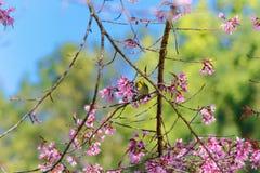 在樱花的白眼睛鸟 图库摄影