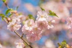 在樱花的白蝴蝶在春天期间 图库摄影
