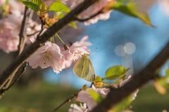在樱花的白蝴蝶在春天期间 免版税库存图片