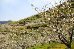 在樱花结构树之间的村庄 免版税库存图片
