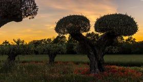 在橄榄树和popies,普罗旺斯,法国的日落 免版税图库摄影