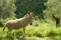 驴在橄榄树小树林里 免版税库存图片