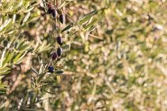 在橄榄树的成熟卡拉迈橄榄有被弄脏的背景 库存照片