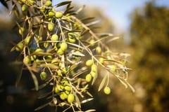 在橄榄树的许多绿橄榄在秋天分支 免版税库存照片