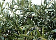 在橄榄树的鸟在树荫下坐分支 免版税库存照片
