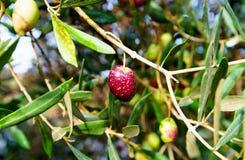 在橄榄树的黑橄榄在秋天 收获庄稼在雨以后的橄榄树小树林果树园 免版税库存图片