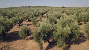 在橄榄树种植园的空中英尺长度 股票录像