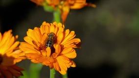 在橙色万寿菊的蜂
