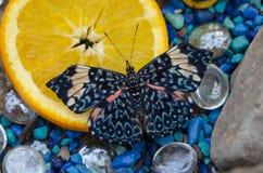 在橙色切片的蓝色薄脆饼干Hamadryas arinome蝴蝶 免版税库存照片