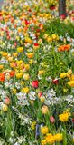 在橙色和黄色颜色的开花的冠皇家花在flo 库存图片