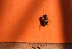 在橙色墙壁上的蜂取暖在阳光下 库存图片