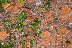 在橙色墙壁纹理背景的常春藤 图库摄影