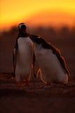 在橙色日落的哺养的场面 幼小在成人gentoo企鹅旁边的gentoo企鹅beging的食物 与父母的年轻gentoo 打开p 免版税库存图片