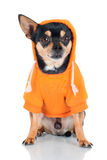 在橙色有冠乌鸦的奇瓦瓦狗狗 免版税库存照片