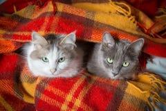在橙色格子花呢披肩下的两只猫 库存图片