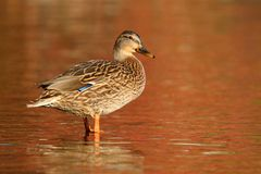 在橙色水的野鸭鸭子在黄昏的秋天 免版税库存照片