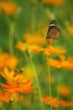 在橙色波斯菊的蝴蝶 库存照片