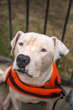 在橙色游泳背心的白色pitbull 库存图片