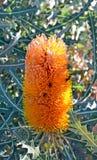 在橙色澳大利亚山龙眼花的蜂 免版税图库摄影