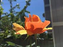 在橙色玫瑰下阳光  库存图片
