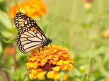 在橙色百日菊属的黑脉金斑蝶 图库摄影
