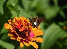 在橙色百日菊属花的船长蝴蝶 免版税库存照片