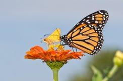 在橙色百日菊属花的黑脉金斑蝶,分享它与一只微小的船长蝴蝶 免版税库存照片