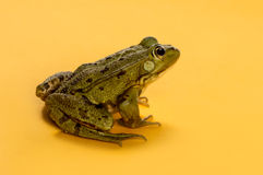 在橙色背景前面的共同的水青蛙 库存照片