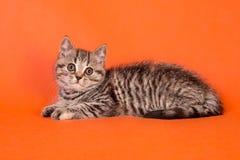 在橙色背景的一只小的蓬松镶边小猫 免版税图库摄影