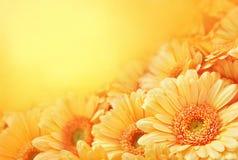 在橙色背景的夏天/秋天开花的大丁草花 免版税库存图片