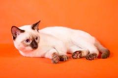在橙色背景的泰国猫 免版税库存照片