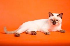 在橙色背景的泰国猫 库存照片